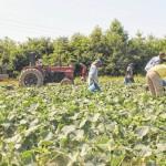 Farmers battle heat