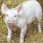 Appropriate biosecurity measures vital to swine producers