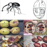 Saving your pecans from weevil damage