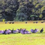 Turkey vultures take over Roseboro community