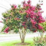 Pruning a crape myrtle correctly