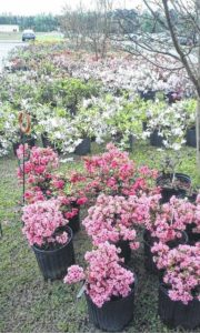 Azalea sale kicks off at Extension